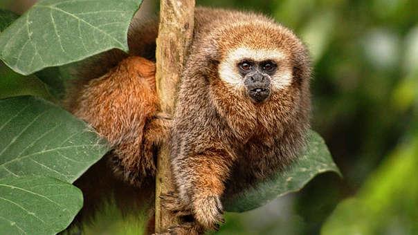 Perú: estas son las cinco especies de mamíferos al borde de la extinción
