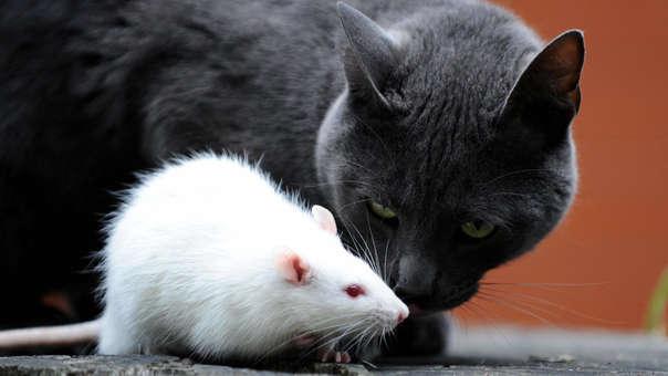 Los gatos no son tan buenos cazando ratas como se cree.