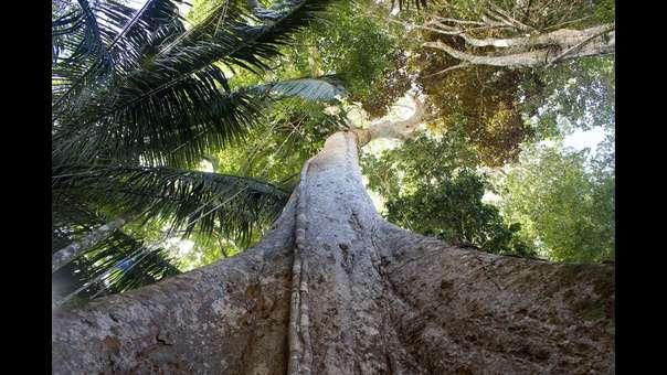 La lenta desaparición del milenario shihuahuaco en la selva de Perú