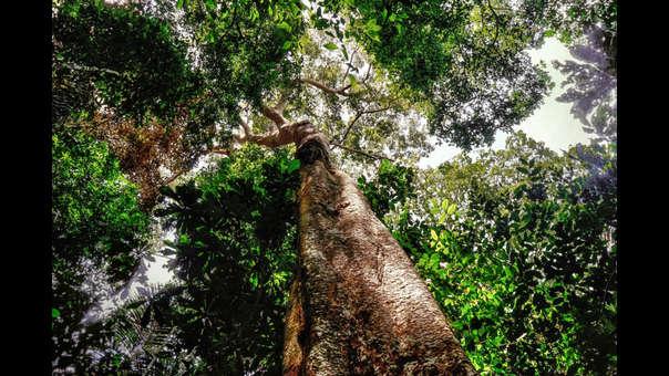 Shihuahuaco: una especie amenazada por el comercio global