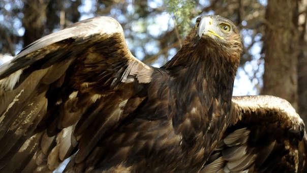 Un águila real, animal que fue venerado por los antiguos mexicanos y que está bajo amenaza.