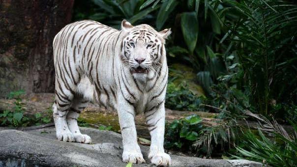 El zoológico alberga a cuatro tigres blancos, una especie amenazada
