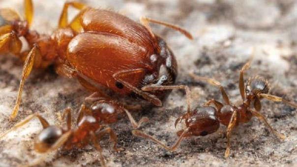 La variación en tamaño de los soldados y trabajadores menores es causada por la presencia efímera durante la fase larval de un órgano aparentemente rudimentario.