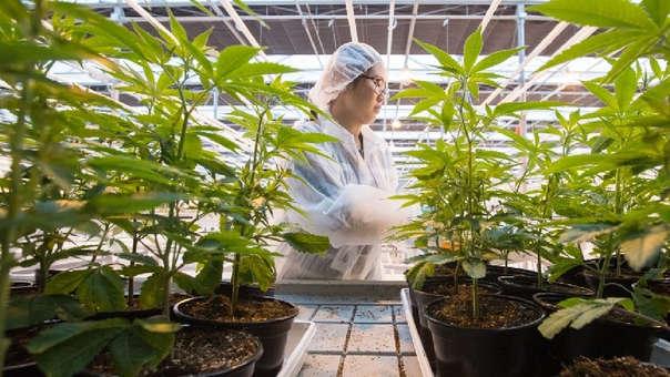 Siguiendo los pasos de Uruguay, Canadá se convertirá el miércoles en el segundo país del mundo en legalizar la marihuana recreativa.