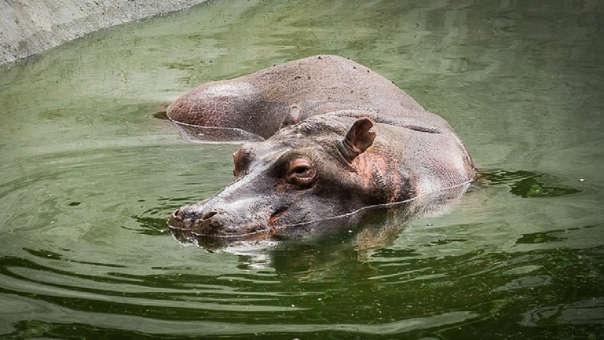 Los hipopótamos de Pablo Escobar