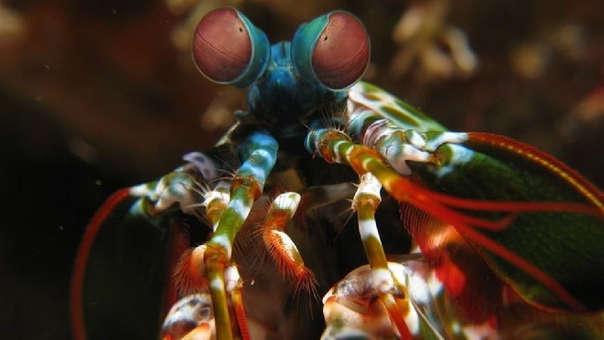 El camarón mantis tiene un golpe tan fuerte que podría ser comparado con la fuerza de una bala de calibre .22