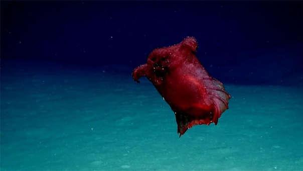 Así es la Enypniastes eximia o 'monstruo del pollo sin cabeza'