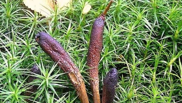 El hongo Yarchagumba también es conocido como Viagra del Himalaya y con el nombre científico de Ophiocordyceps sinensis.