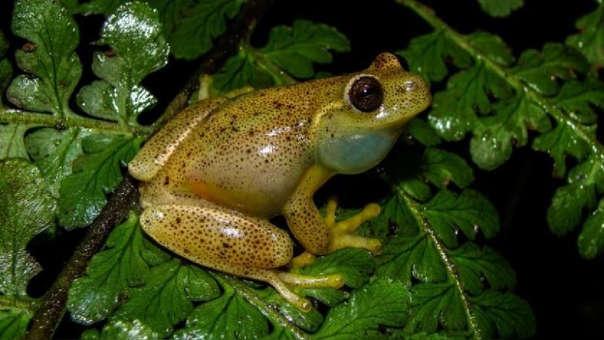 Los investigadores esperan que estos avances en ranas pueden ser aplicados en humanos.