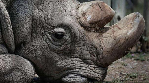 Sudán, el último rinoceronte blanco del norte macho, murió a inicios de año, Desde entonces, los científicos busca cómo salvar a la especie de la extinción.
