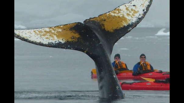 Ballenas en Antártida nadan a centímetros de un grupo de kayakistas