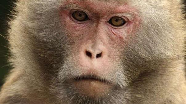 Un mono macaco rhesus como el que robó al bebé