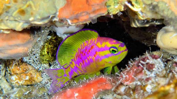"""""""Uno de los peces más hermosos"""": la especie de pez de colores neón descubierto en Brasil"""