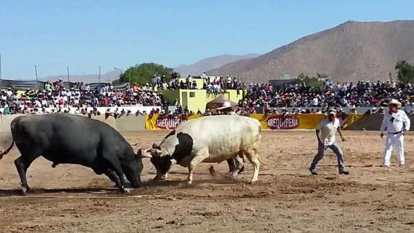 Tradicionales peleas de toros en Arequipa