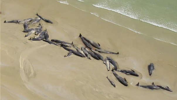 El caso de estas ballenas es similar al ocurrido a inicios de semana en Nueva Zelanda (referencial).