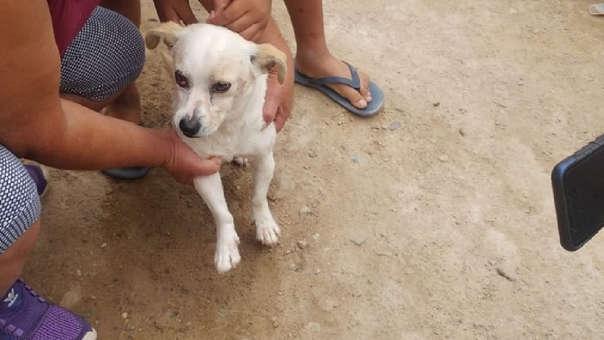 Otto, el perrito héroe que salvó a menor de ataque de pitbull
