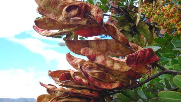 ¡Felicidades! Cajamarca se consolida como el principal productor y comercializador de tara en el Perú