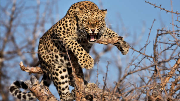 Según las estimaciones oficiales, hay entre 12 000 y 14 000 leopardos en India.