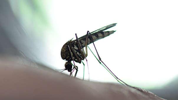 Mosquito transmisor de la fiebre amarilla que está presente en el área amazónica.