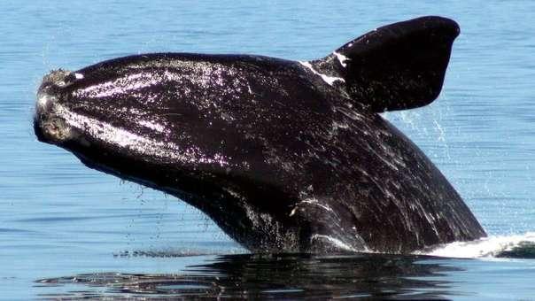Las ballenas francas glaciales están en grave peligro de extinción.