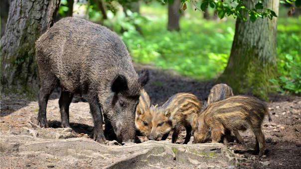 Un jabalí junto a sus crías en el bosque.