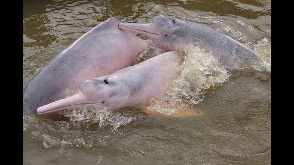 Delfines de la Amazonía