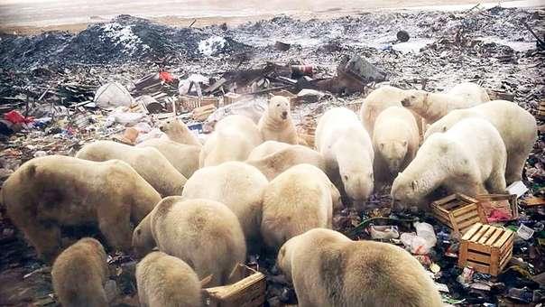 Resultado de imagen para osos polares navaya zembla