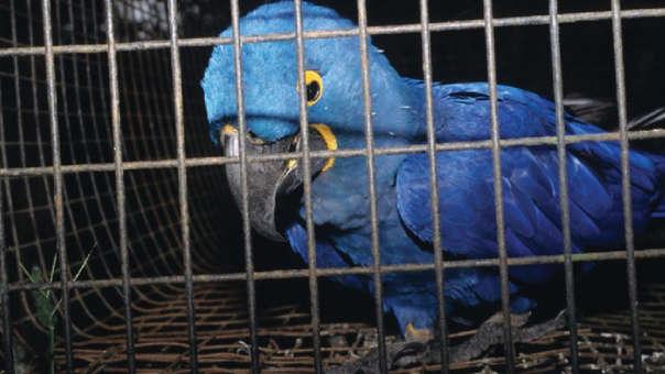 Tráfico de aves en Latinoamérica