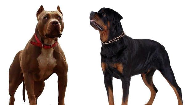 Un pitbull y un rottweiler