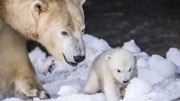 Un soo polar y su cría en un zoológico de Dinamarca (referencial)
