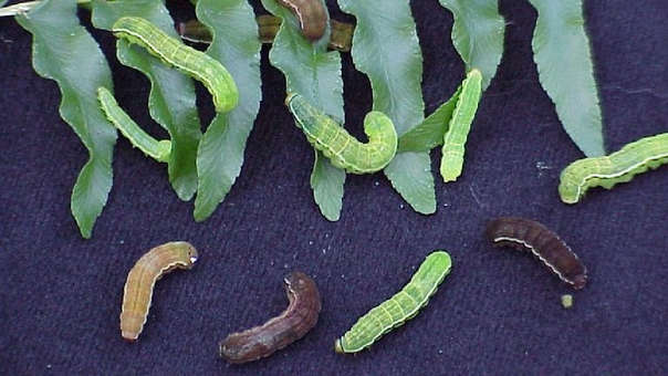 Callopistria floridensislos consume arsénico, porque se cree que esto sería letal para otros animales.