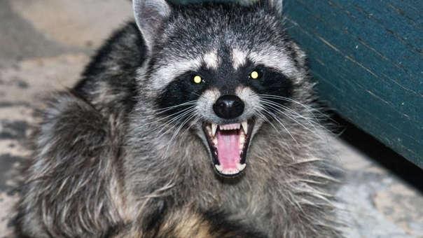 Las autoriades de Nueva York identificaron a un grupo de 4 mapaches con rabia (referencial)