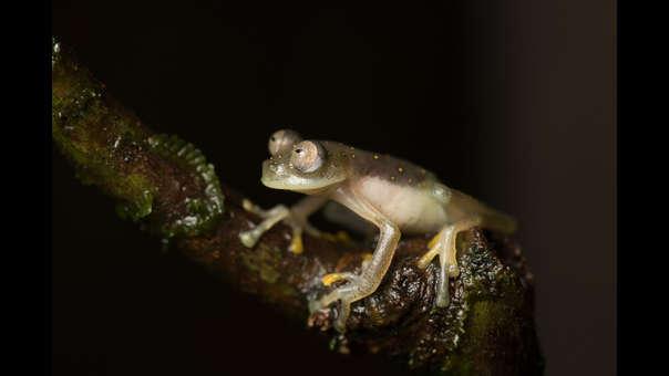 69917df5f Ecuador  descubren rana de cristal en una reserva cercada por la ...
