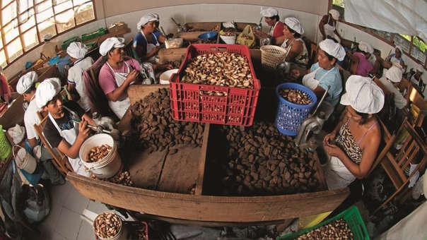 Producción y recolección de castañas en Madre de Dios.