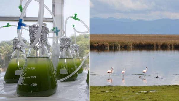 Las microalgas en el laboratorio y el lago Junín o Chinchaycocha, el lago más contaminado en el Perú por residuos de minerales.