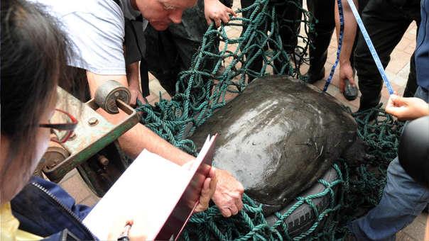 Fotografía realizada el 6 de mayo de 2015 que muestra cómo expertos miden una tortuga del Yangtsé en el zoo de Suzhou en China.