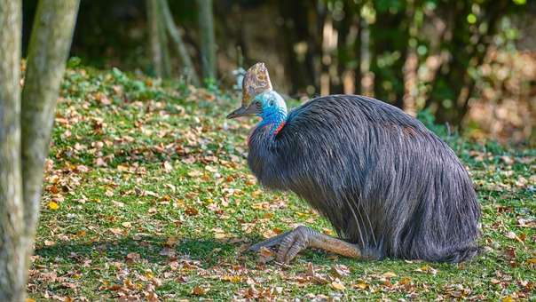 Los casuarios son similares a los emus. Pueden medir hasta 2 metros de altura y pesar hasta 60 kg.
