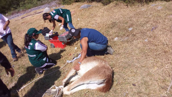 Rescate guanaco