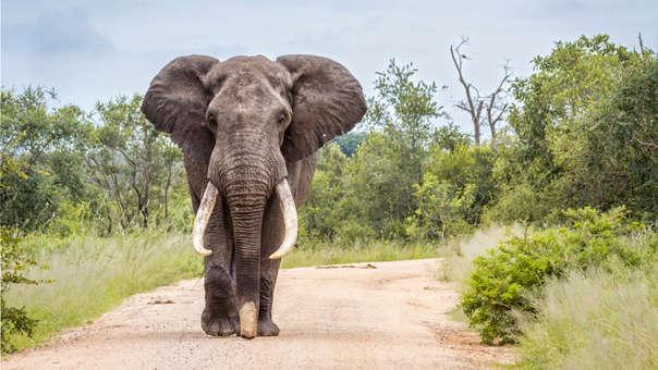 El elefante es una de las especies más amenazadas por los cazadores furtivos en África