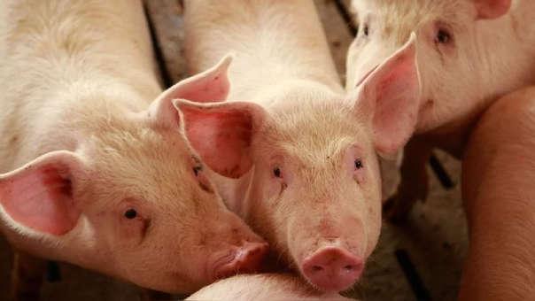 Primer caso de peste porcina africana en Hong Kong