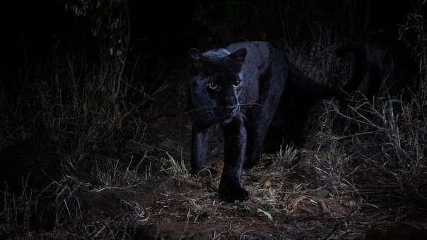 Leopardo melanístico