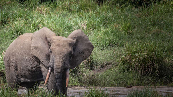 Elefante de Botsuana