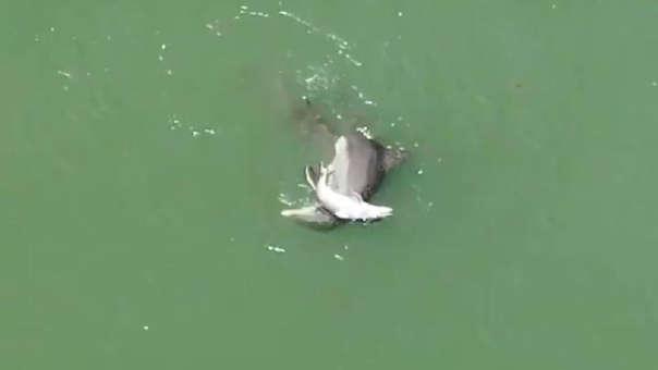 La mamá delfín trata de mantener a flote el cuerpo de su cría a través del canal intracostero en Indian Shores, Florida.