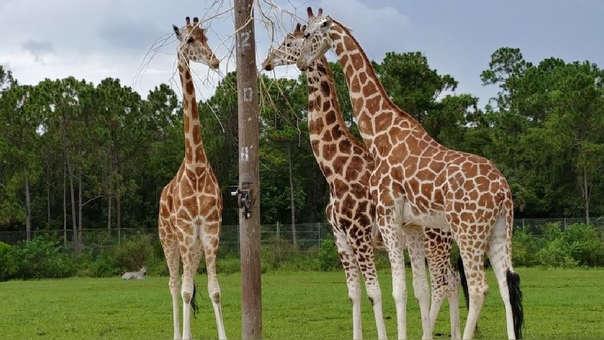 Las jirafas que murieron tenían 10 y un año.