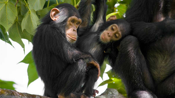 Una familia de chimpancés en Tanzania.