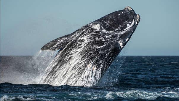 La región alberga aproximadamente una cuarta parte de las últimas 411 ballenas francas del mundo, de acuerdo con las últimas estimaciones del gobierno canadiense.