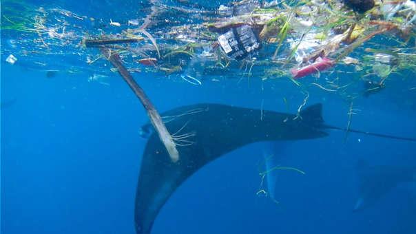 Una mantarraya nada entre plásticos y basura