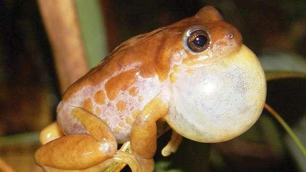 Fotografía del Instituto Nacional de Biodiversidad de Ecuador que muestra la nueva especie de rana del género Pristimantis que fue hallada en Ecuador.