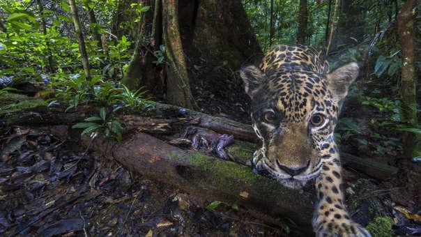 Jaguares en Guyana Francesa