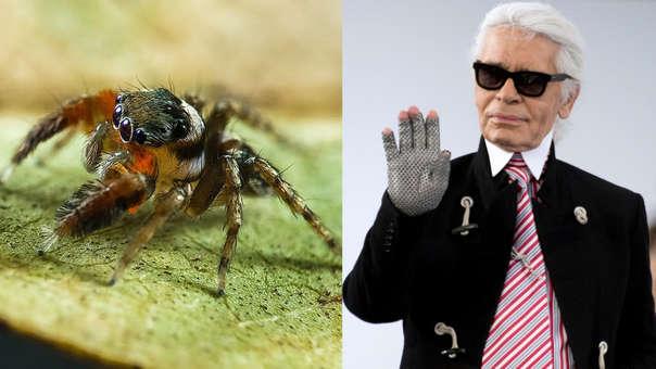 Una nueva especie de araña recibió el nombre Karl Lagarfeld